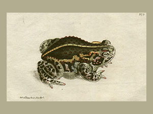 Rana Mephitica - The Mephitic Toad. Frederick Polydore Nodder