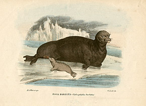 Bild: Giovanni Boschi, Bearded Seal