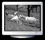 Inga Schnekenburger: Ziegen